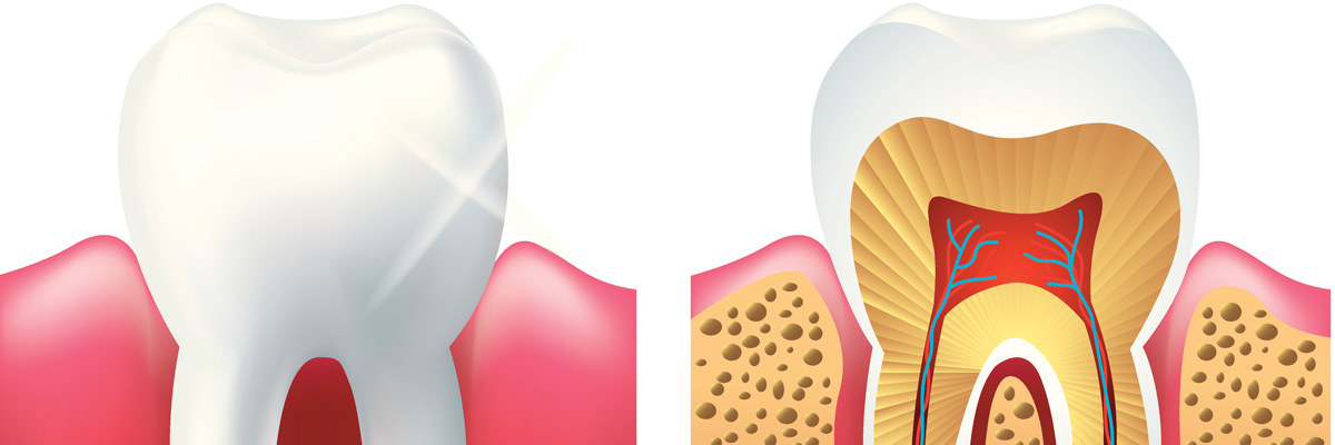 Shiny tooth and cutaway photo realistic vector
